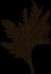 Cedar leaf sketch