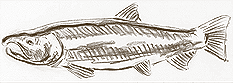 Sketch of Freshwater Salmon