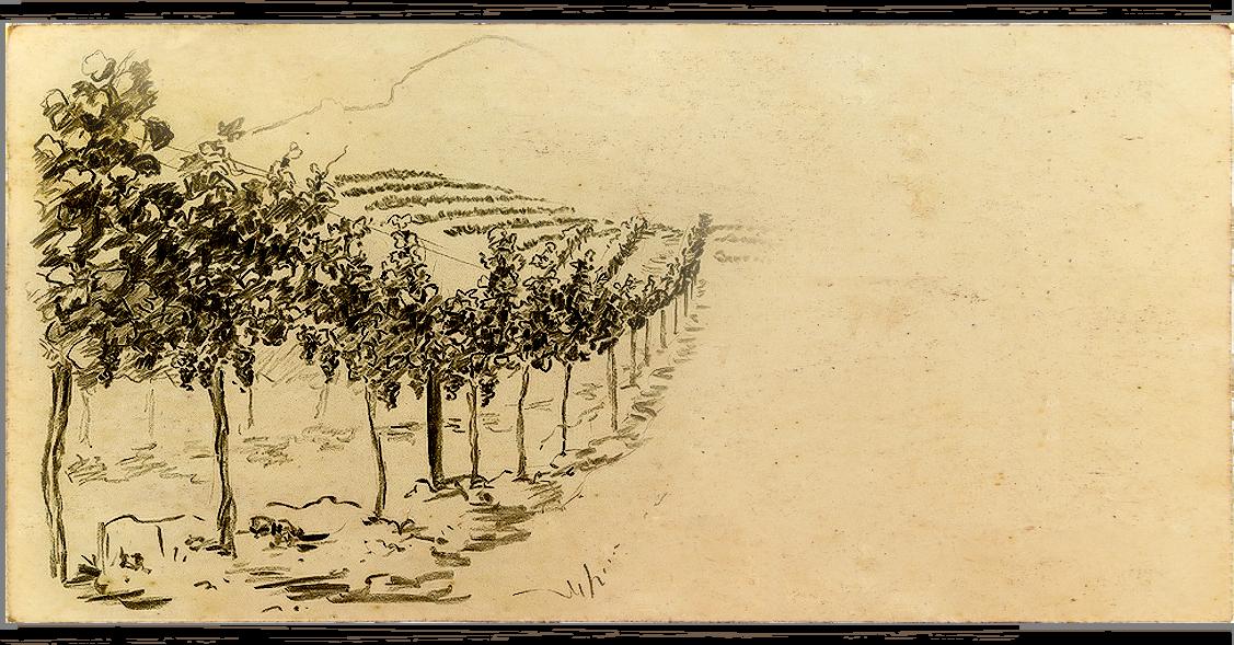 Anakota vineyard image sketch of Cabernet Sauvignon vines